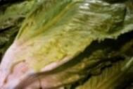 Saludable lechuga larga del mercado de Almería